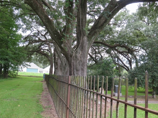 Row of Live Oak Trees - IMG_0979