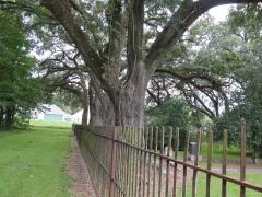 Row of Live Oak Trees - IMG_0979