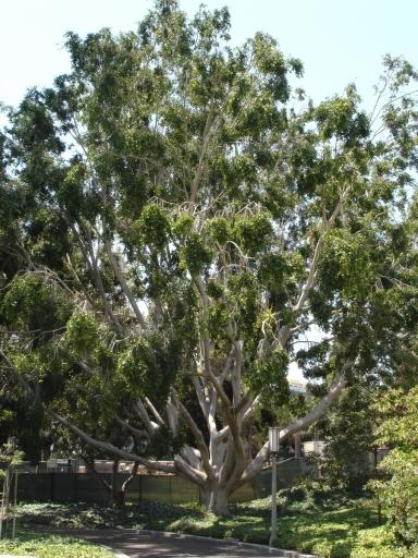 UC-Irvine-Campus-08-Ficus-Macrophylla