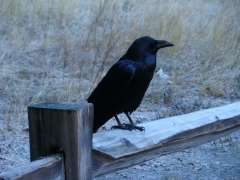 Yosemite-Valley-10-crow-on-fence