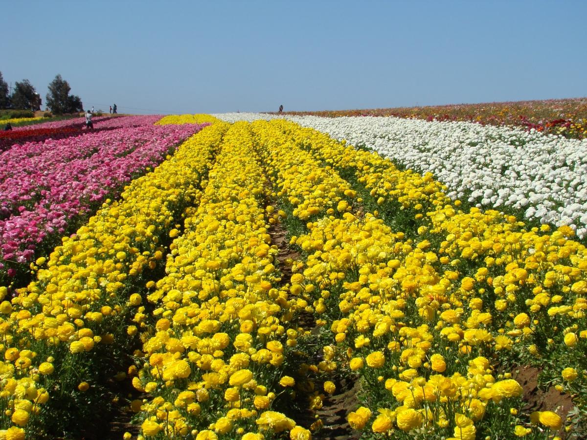 The Flower Fields – que Views
