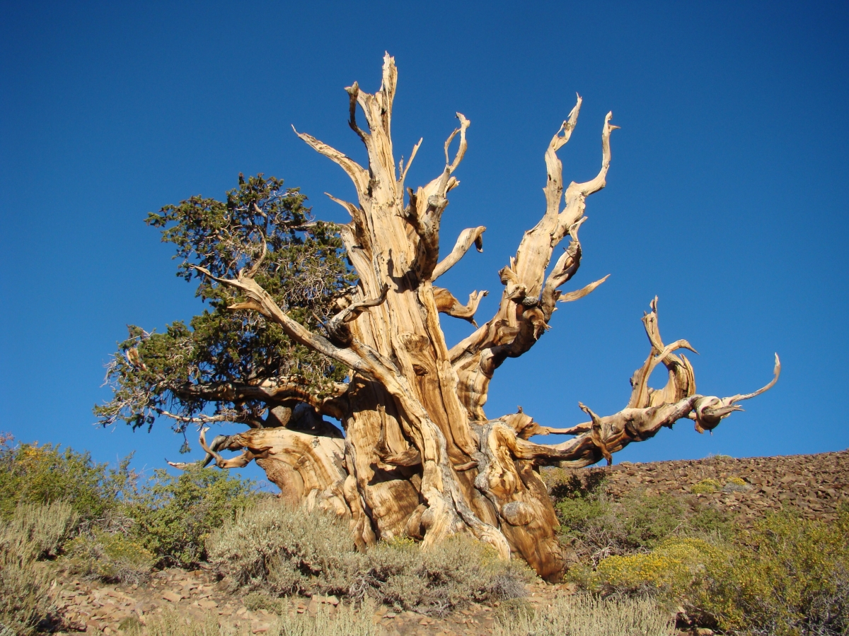 The Ancient Bristlecone Pines Picturesque Photo Views